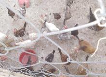 فراخ دجاج للبيع