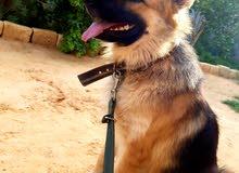 كلبه ولف روسي للبيع او استبدال  بدكر وانتا بيتبول