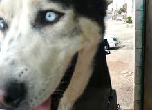 كلب هاسكي للبيع عمرو سنتين
