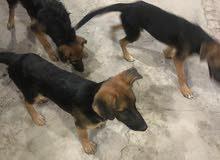 اكلاب جيرمن عمرهن 5 اشهر وسعر الواحد 100$