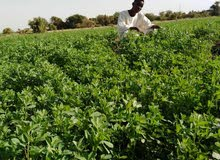 قطعة زراعية بولاية النيل الأبيض كنانة خور كليكيس السعر 500الف للطلب0907202681