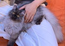 قطة أنثى منتجة هملايا مع عيالها للبيع