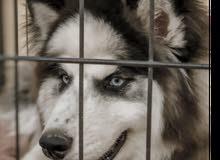 كلب هاسكي مالموت العمر 4اشهر
