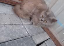 قطه هملايا العمر سنه