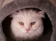 قطه انثي عين زرقاء وأخرى خضراء جميلة