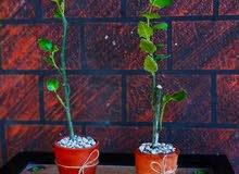 شتلات نبات الفيكس المطاط