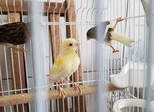 عدد 6 طيور كناري