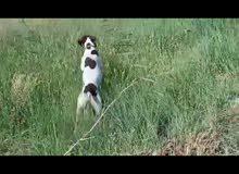 كلب اسلوكي مال صيد وا حراسه للبيع