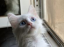 للبيع كيتن قطه ابيض شيرازي بيور عيون زرقاء