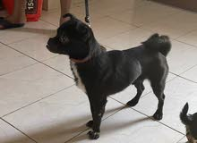 pug mix pupie avilible male age 6 month 2500