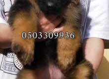 king size gearmen shepherd puppies
