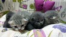 BRITISH AND SCOTTISH FOLD KITTENS