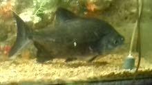 سمكة بيرانا امازون