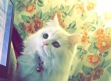 قطة شيرازي مكس هيمالايا