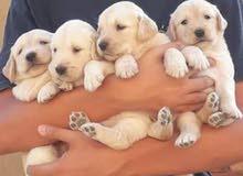 كلاب جولدين لبيع بيور
