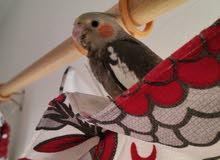 baby tamed cockatiel for sale