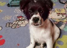 Terrier Maltese Puppy