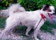 كلب لولو فوكس اصلي 0991137869