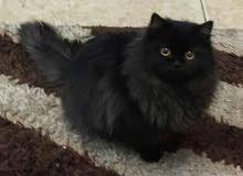 قطة شانشيلا عمر 4 شهور
