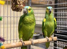 Beautiful Baby Amazon Talking Parrots for sale