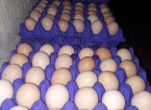 توفر بيض بلدي وفيومي للفقاسات بنسة تخصيب عاليه حيث نكفل البيض كفاله حقيقه تصل ال