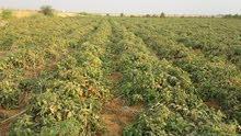 للبيع 35 فدان واجهة عالطريق مسجلة مزروعة طماطم ري نيلي من الترعة مباشرة
