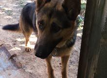 كلب الماني اوامر وشراسه وميعرفش يوخر حتا الرصاص ميخافش منه وبالتجريب