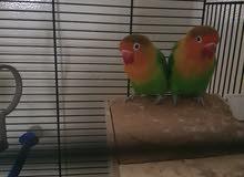 للبيع طيور الحب فيشر