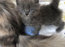 قطط شرازي  ثلاث