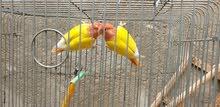 غندور اوبلاين اصفر