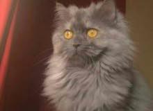 قطه شيرازي للتبني المؤقت