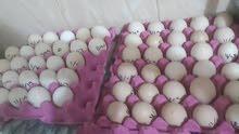 بيض  دجاج مشكل اقرى الاعلان