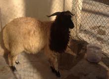 خروف وطني للبيع