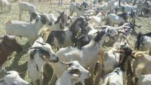 تيوس حبشية شبيهة البيشية