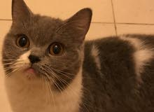 Beautiful Bicolor cats for sale