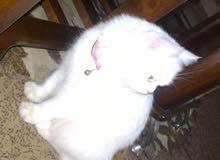 قطة نوع مكس