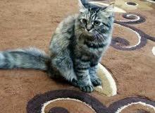 قطه للبيع شيرازي تايقر
