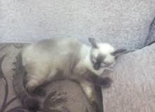 قطط سيامي للبيع