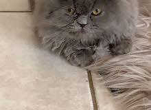 قط بيكي فيس عمر 6 شهور
