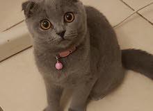 للبيع قطة سكوتش فولد تربل انثى