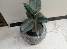 نباتات مع السنادين نبات  طبيعي كلهن