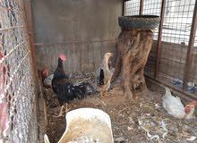 دجاج عرب عدد 3 ديج و3 دجاجة