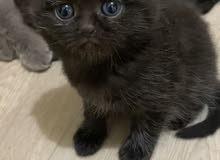 black Scottish fold kittens