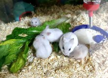 5 Pet Campbell Breed Hamster babies 1 month old