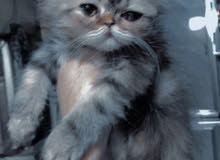 قطة شانشلا هاف بكي فيس