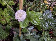 رازق، فل Arabian jasmine