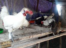 دجاج كوجن أربع دجاجات وثلاثة ديوكا بيهن أربع وبيهن خمسة  اصابع