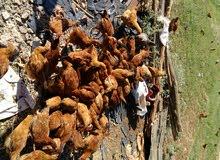 دجاج كروازي للبيع  بأعلافا الدجاج البلدي