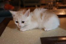قطة صغيرة ب سعر مميز 400 ريال فقط