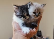قطط شيراز للبيع.